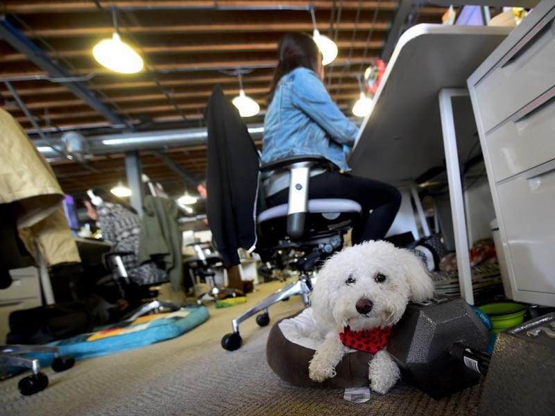 DogFin, a Bichon Frise, rests along the aisle near employees working at the company's office of DogVacay in Santa Monica, US. (AFP)