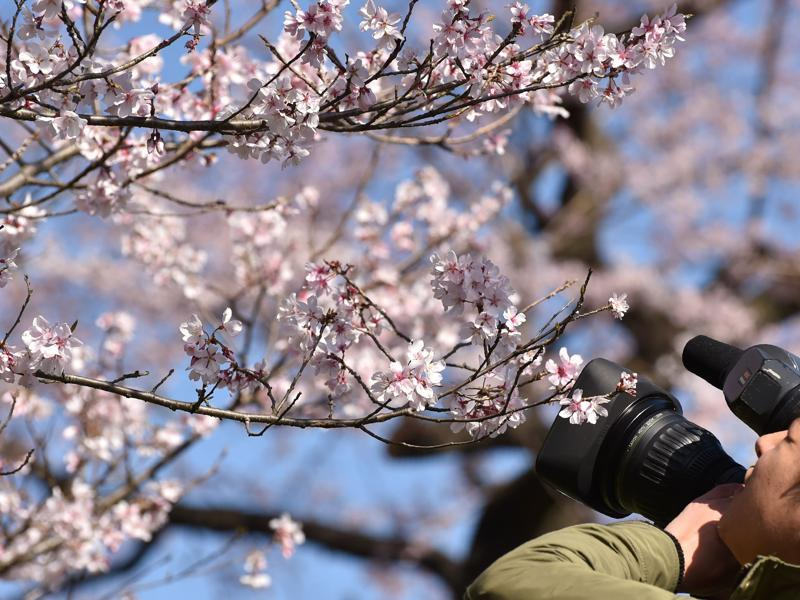 The street for cherry blossom viewing will be opened to the public until March 31. (AFP)