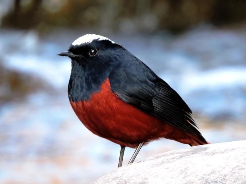 White-capped redstart: A resident breeder in the region, it is found near streams and rivers. (BK Goel/HT Photo )