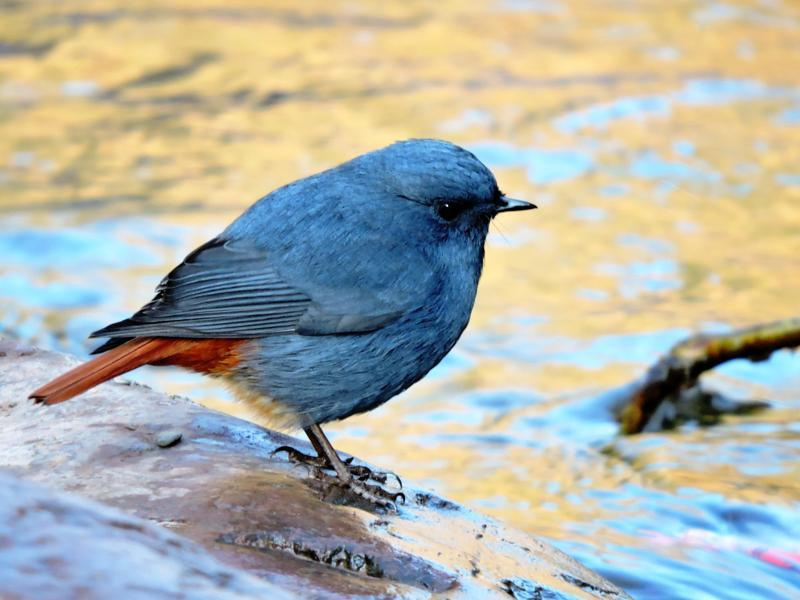 Plumbeous water redstart: A resident, it is found near mountains streams and rivers (BK goel/HT Photo )