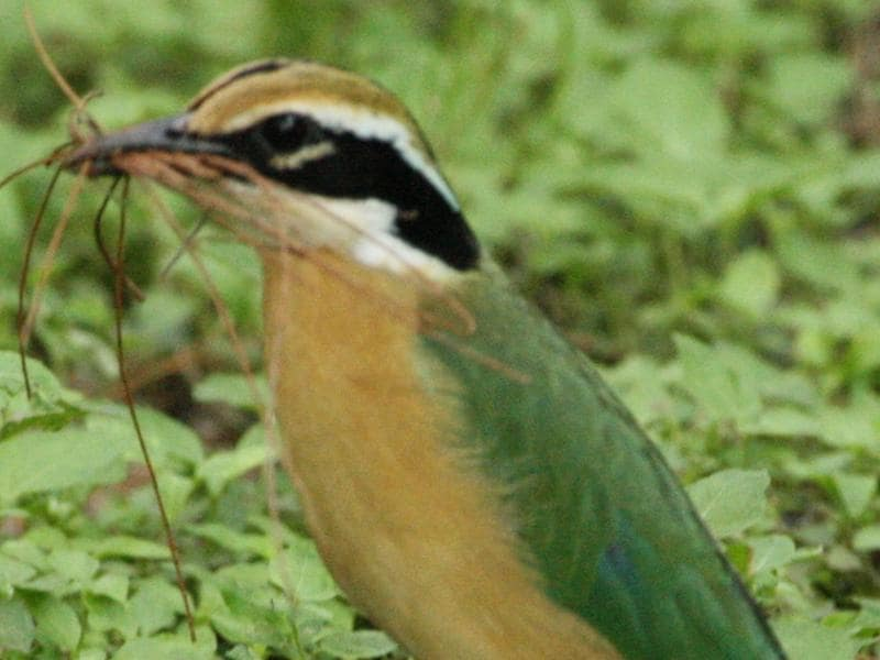 Indian Pitta: it is a summer migrant for breeding and spends winters in south India and Sri lanka. Nauranga in Hindi and Punjabi , it is a beautifully coloured bird. (Rima Dhillon /HT Photo )