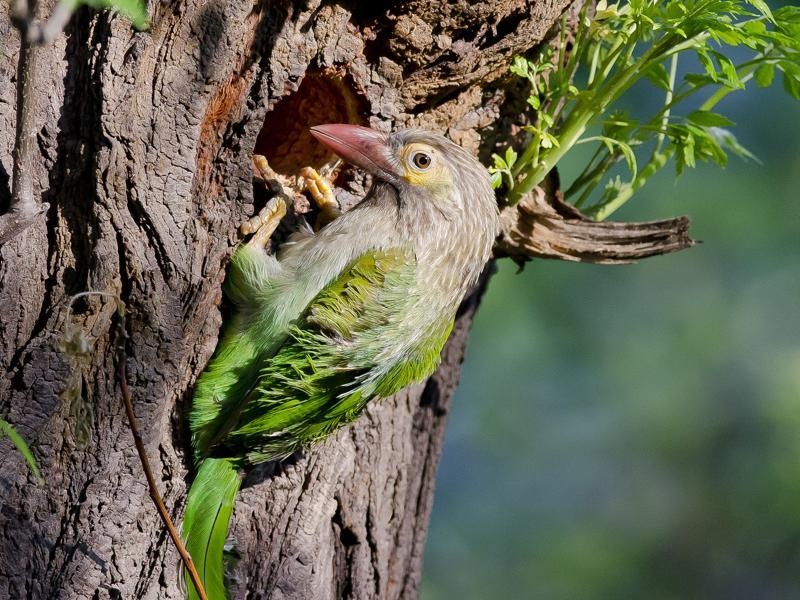 Brown-Headed Barbet : A resident breeder in the region, it is a frugivorous bird and can be heard in spring,calling, '  Kutroo-kutroo-kutruk',  and is called Basanta in Hindi and Punjabi.   (Mahesh Garg/HT photo )