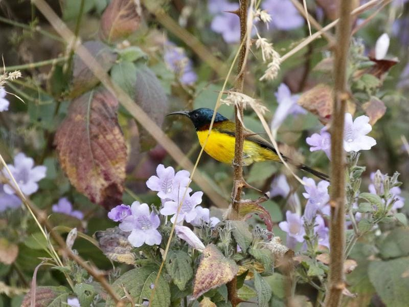 Green-Tailed Sunbird: A winter migrant to the region from the middle and higher Himalayas, it is a nectar -sucking bird. (Brig Sarabjit Singh Randhawa9 (retd)/HT Photo )
