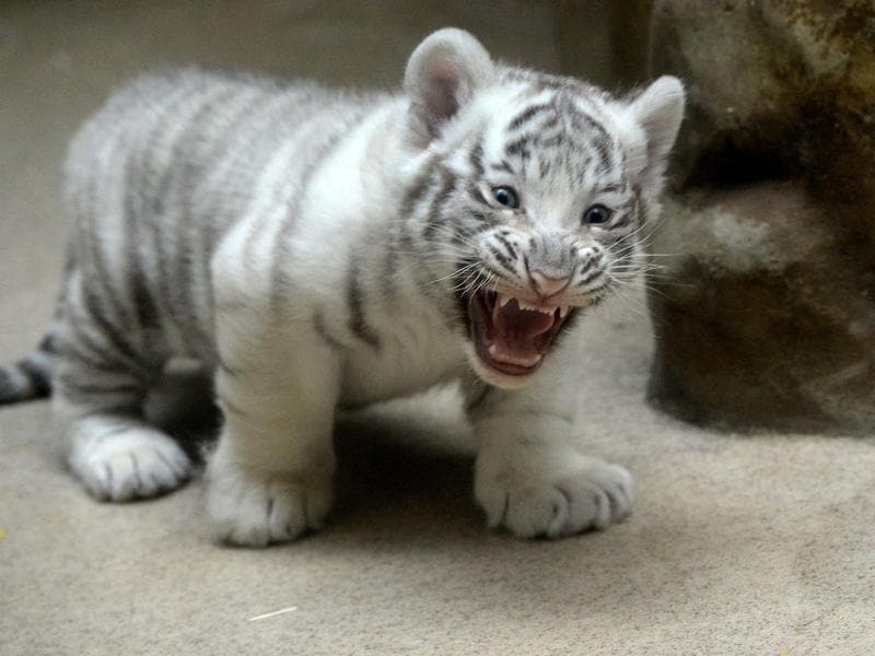 Tiny but fearsome: A two months old white tiger cub stands in its enclosure. (AFP)