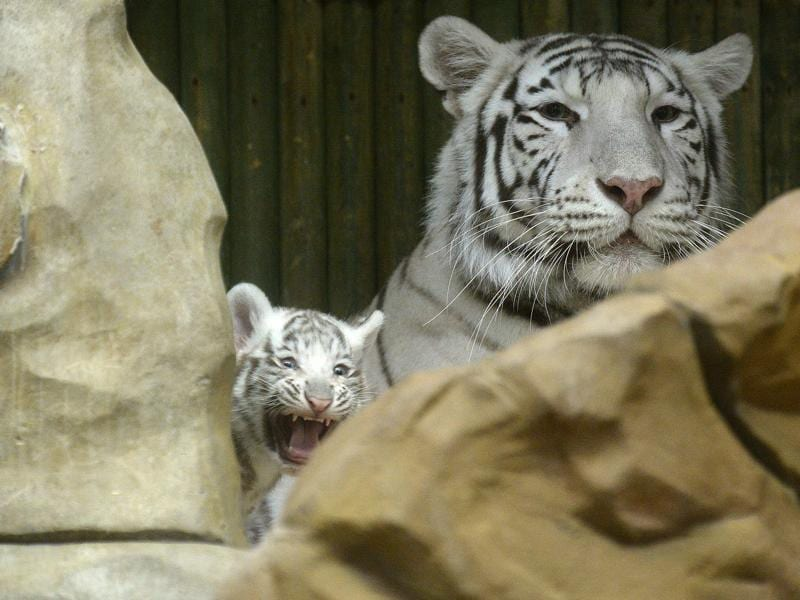 White tigers are rare, only one in every 10,000 births of Bengal tigers will be a white variant. (AFP)