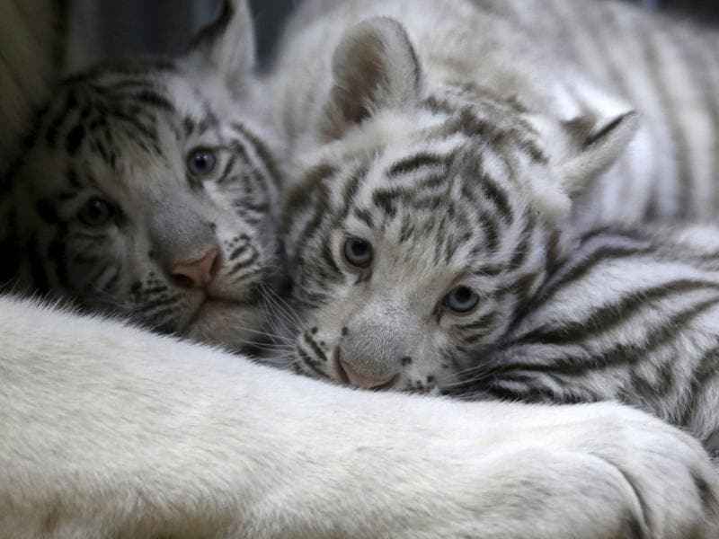 The white tiger grows faster and heavier than the Royal Bengal tiger. (REUTERS)