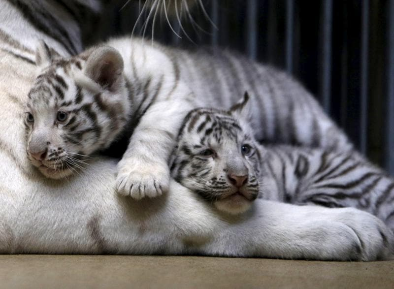 All white tigers have stripes like fingerprints but no two tigers have the same pattern. (REUTERS)