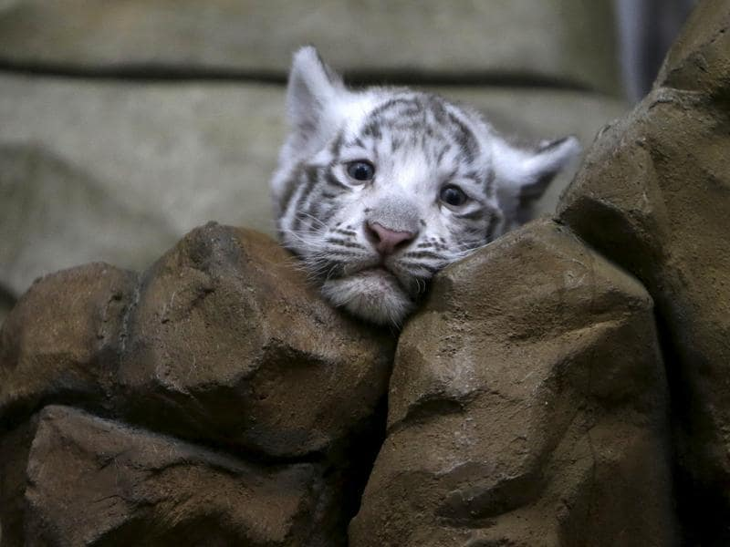 The white tiger is a pigmentation variant of the Indian Royal Bengal tiger. (REUTERS)