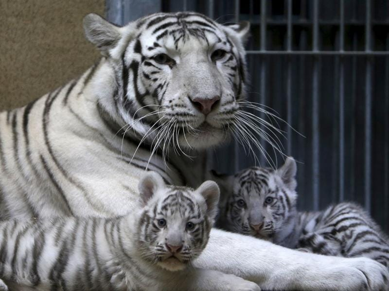Suraya Bara, an Indian white tiger, rests with its newly born cubs in their enclosure at Liberec Zoo, Czech Republic, April 25, 2016.  (REUTERS)