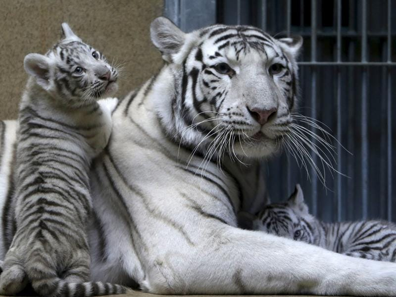 In India, white tiger is found in the states of Assam, Bengal, Bihar, Sunderbans and Madhya Pradesh. (REUTERS)