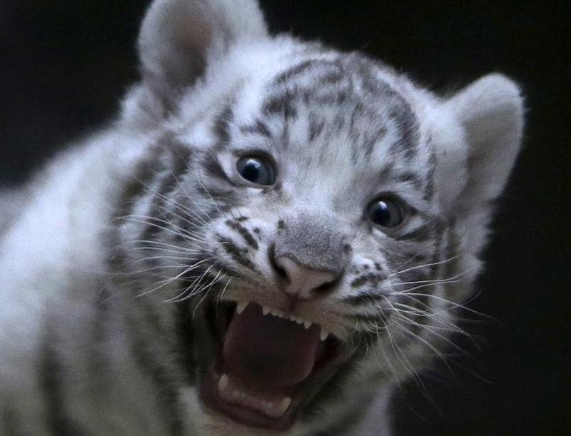 A newly born white tiger cub bares its fangs.  (REUTERS)