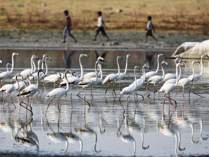 Flamingos arrive at the Ameenpur Lake in Hyderabad.  (Sanjeev Verma/HT  Photo)