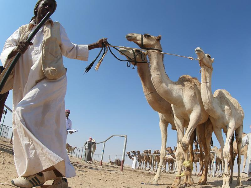 The institution also wants to breed top racing camels. (AFP)