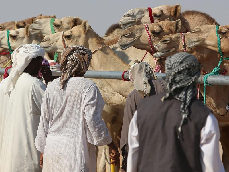 The idea is to eventually to breed and house top-level camels. (AFP)