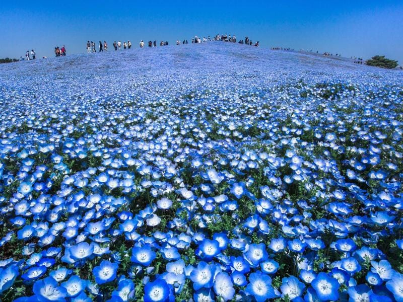 'Blue heaven' in Mawatari, Ibaraki, Japan: When the views of the world was a beautiful color, people would be very happy. We pleased to be alive. It is the spring of superb view. All is blue world. (Photo and caption by Hidenobu Suzuki) (National Geographic)