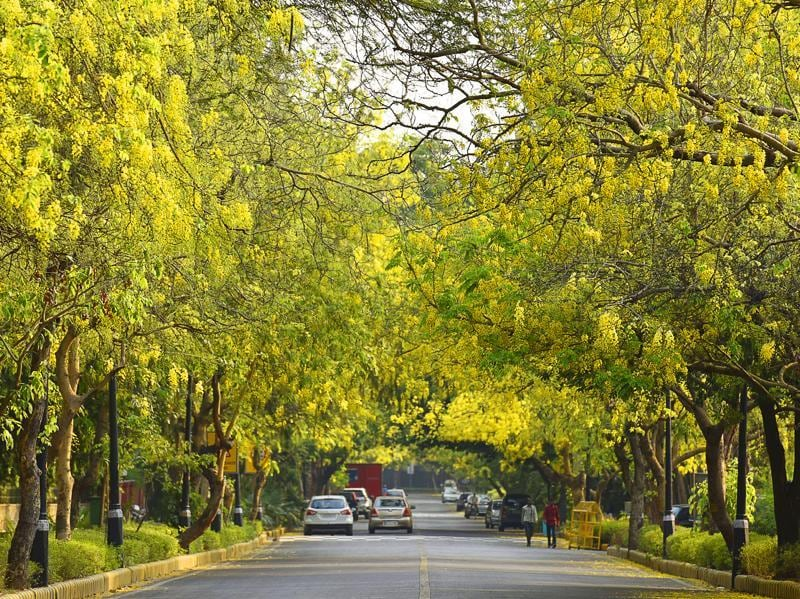As temperature soars in Delhi, the streets of the capital come alive with the yellows and reds of Amaltas (Golden Shower tree) and the Gulmohar (Flame tree) . (Sanjeev Verma/HT PHOTO)