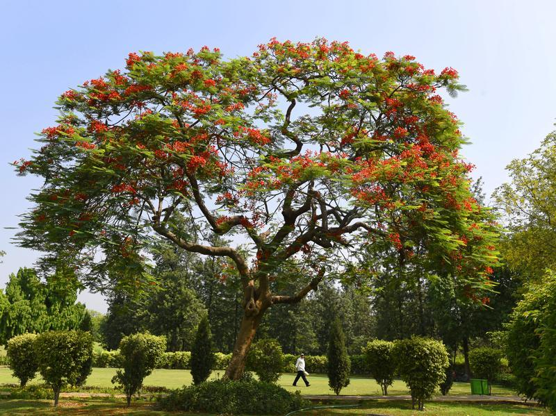 The Gulmohar tree is widely planted all across India. In Odia and Bengali, it is called Krishnachuda. (Sanjeev Verma/HT PHOTO)