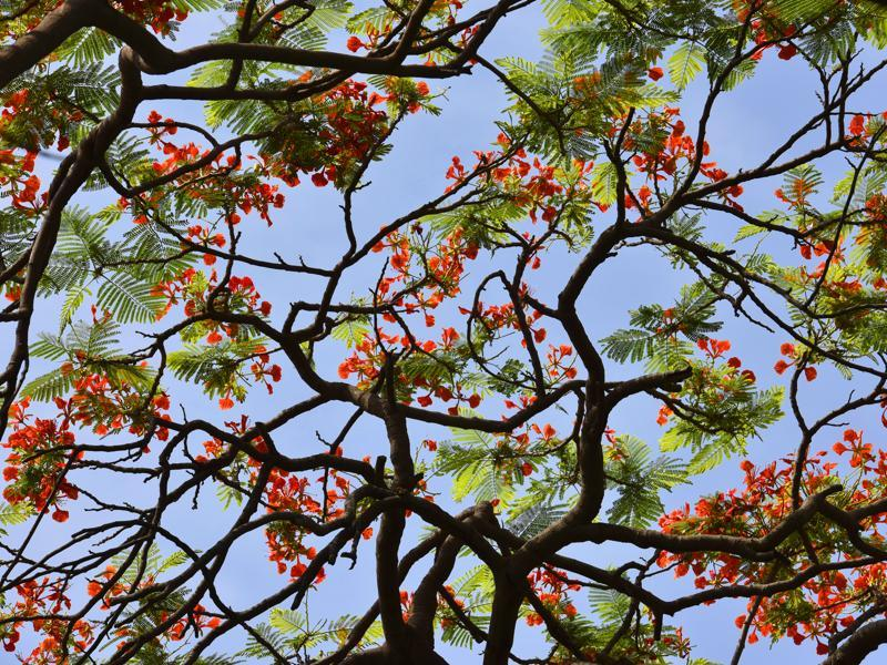 Gulmohar: A canopy of flaming reds... (Sanjeev Verma/HT PHOTO)