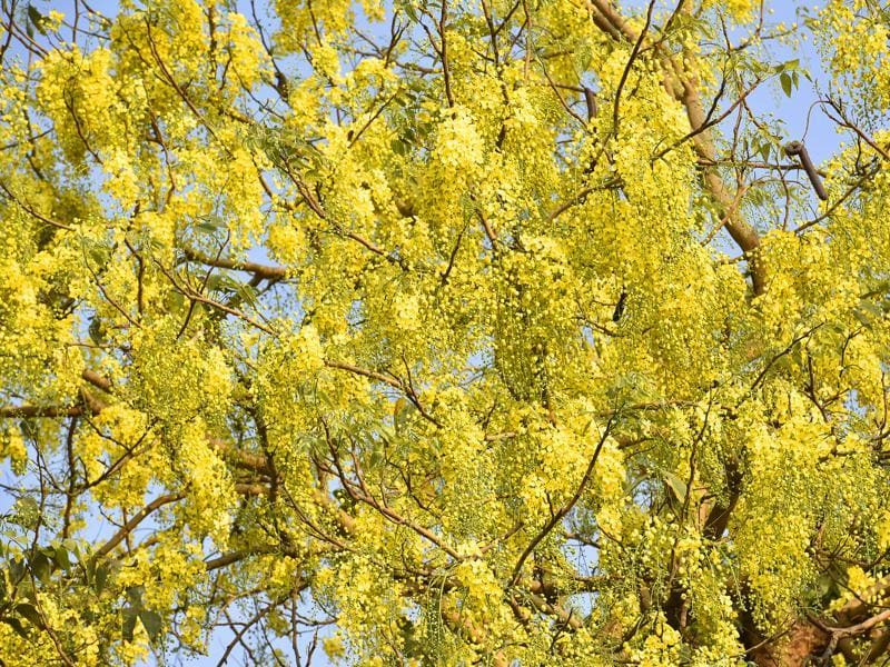 Amaltas has immense medicinal value as well. In fact, one of its Sanskrit names, Aragvadha, means a 'disease killer'.  (Sanjeev Verma/HT PHOTO)
