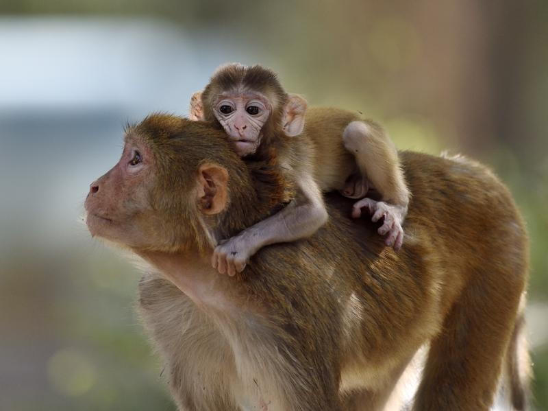 A rhesus monkey mother carries her child as they try to catch up with their group at the National Zoological Park in New Delhi. (Gurinder Osan/HT PHOTO)