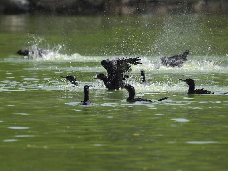 Meanwhile, cormorants have their part of fun, splashing in water to stay cool. (Gurinder Osan/HT PHOTO)
