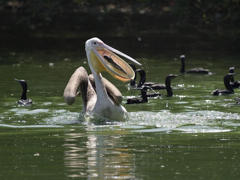 """A perfect catch!"" A pelican grabs a fish in the cool water of the National Zoological Park in New Delhi, along with cormorants. (Gurinder Osan/HT PHOTO)"