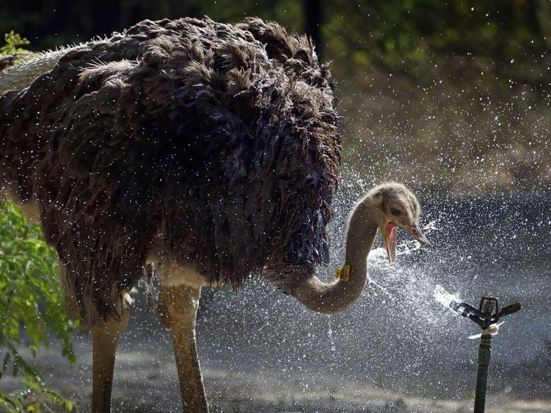 An ostrich drinks  water from a sprinkler while also playing with it, as it seeks some respite from the heat in the Capital, where the mercury is over 45 degrees. (Gurinder Osan/HT PHOTO)