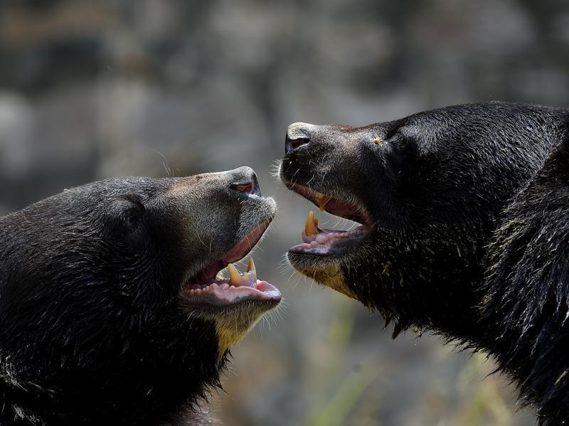 Himalayan Black Bear play with each other in a water body at Delhi's National Zoological Park on Saturday. It's tough for these beasts on such a hot summer day.  (Gurinder Osan/HT PHOTO)
