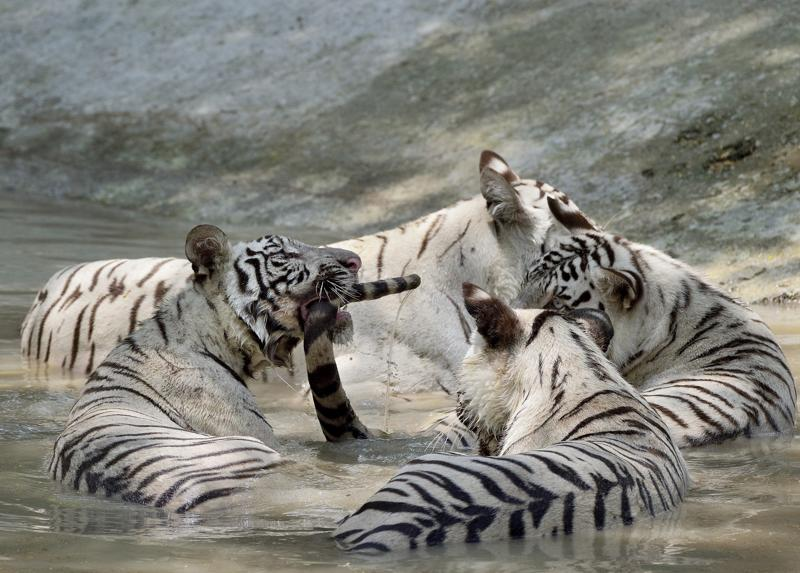 Tale of tails: Young White Tigers play in a pool of water at the National Zoological Park.  (Gurinder Osan/HT PHOTO)
