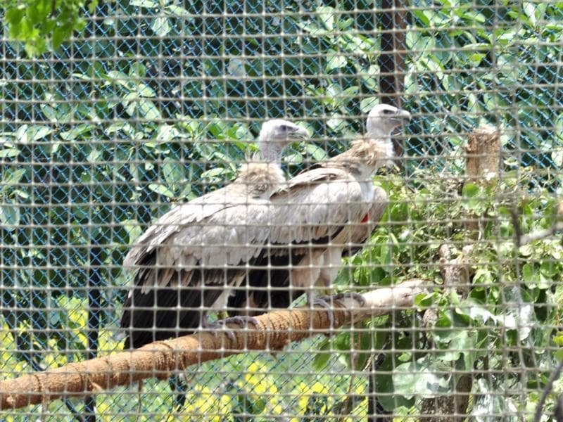 The two Himalayan Griffon vultures before being released into the wild, at Jatayu Conservation Breeding Centre, Pinjore, near Panchkula, on Friday. (Sant Arora/HT Photo)
