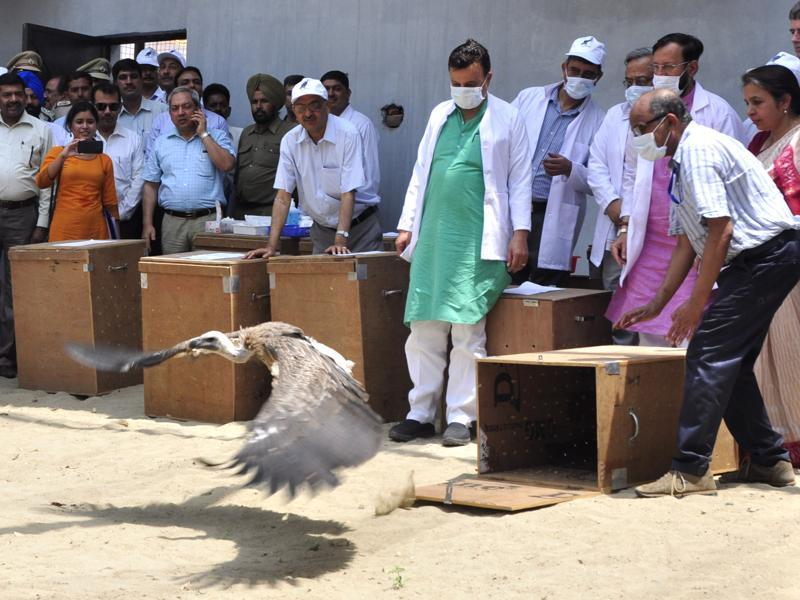 A Himalayan Griffon vulture being released, at Jatayu Conservation Breeding Centre, Pinjore, near Panchkula, on Friday. (Sant Arora/HT Photo)
