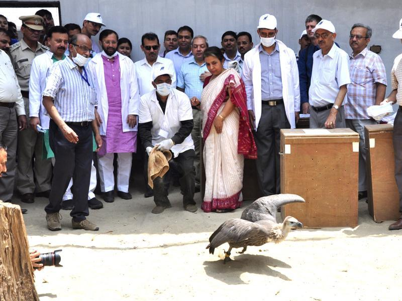 A Himalayan Griffon vulture being released into the wild, at Jatayu Conservation Breeding Centre, Pinjore, near Panchkula, on Friday. (Sant Arora/HT Photo)