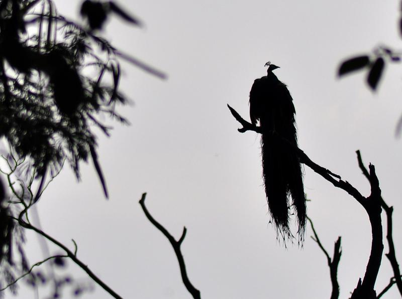 A peacock drying it's feathers after the showers near Rock Garden in Chandigarh.  (Karun Sharma/ HT Photo)
