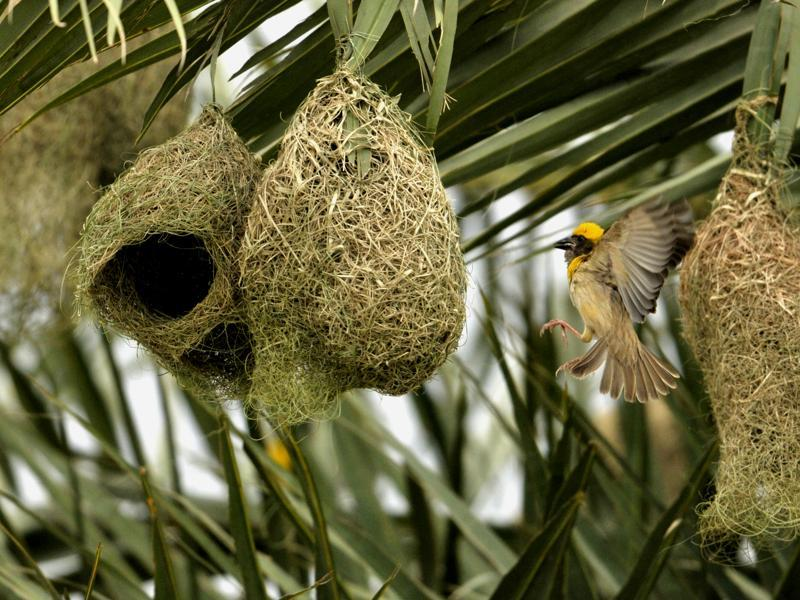 A weaver bird in the process of making a nest before monsoon on the outskirts of Chandigarh. (Ravi Kumar/HT Photo)