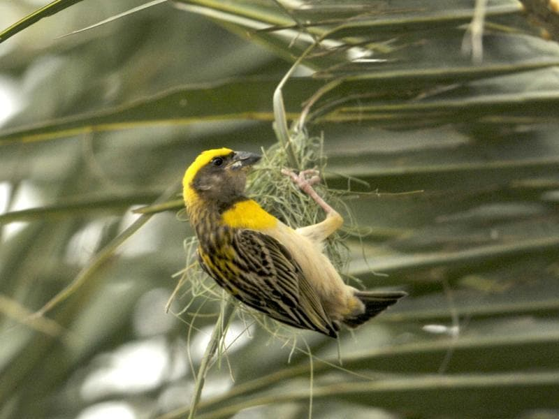 A weaver bird in the process of collecting grass for making a nest before monsoon on the outskirts of Chandigarh on Wednesday.  (Ravi Kumar/HT Photo)