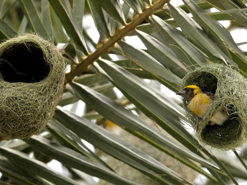 A weaver bird strengthens the nest ahead of monsoon on the outskirts of Chandigarh on Wednesday.  (Ravi Kumar/HT Photo)