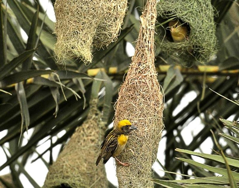 Weaver birds in the process of making nests before monsoon on the outskirts of Chandigarh on Wednesday.  (Ravi Kumar/HT Photo)