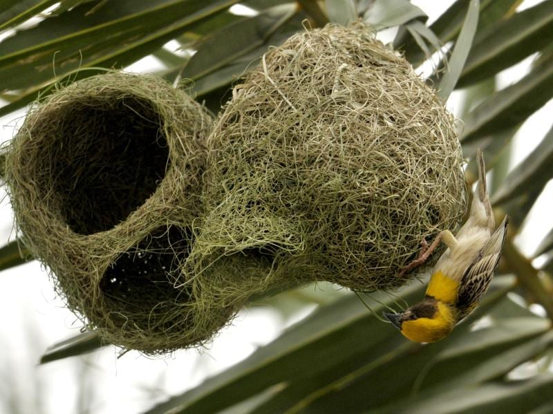 A weaver bird in the process of making a nest before monsoon on the outskirts of Chandigarh on Wednesday.  (Ravi Kumar/HT Photo)