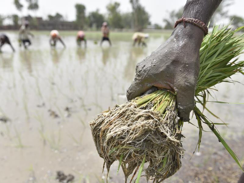 Daily wagers sowing paddy in fields of Amritsar on Tuesday.  (Gurpreet Singh/HT Photo)
