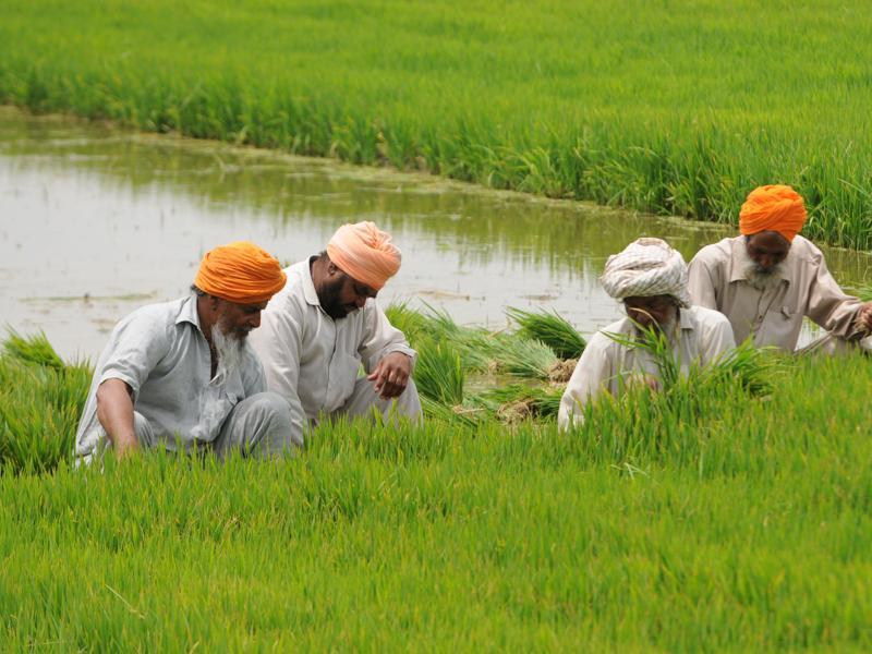 Patiala, India- 14 June 2016:::: Farmers preparation for the Paddy at village Laut near Patiala on Tuesday, June 14, 2016. Photo by Bharat Bhushan Hindustan Times.