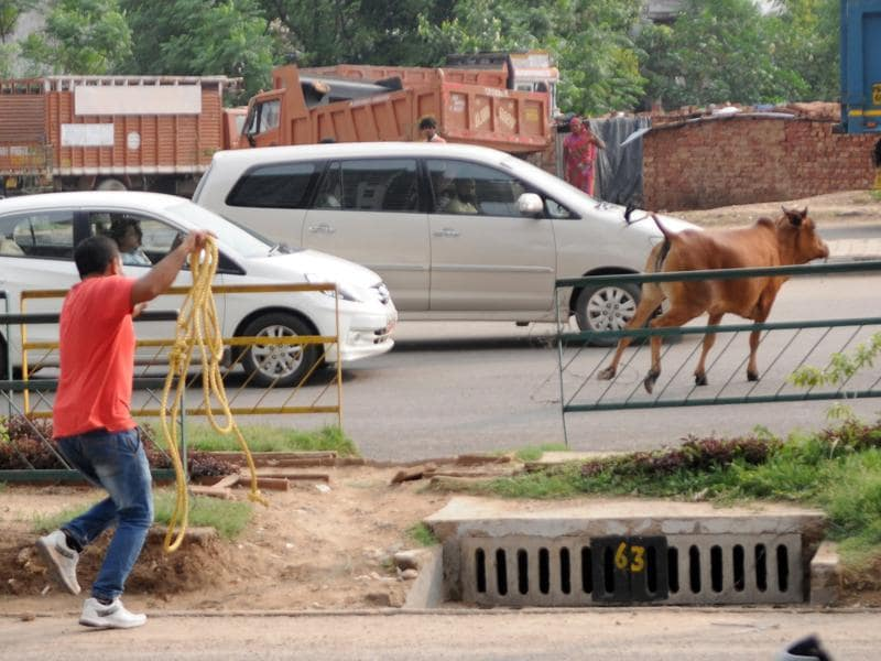 A municipal employee trying to catch a stray cow in SAS Nagar on Friday.  (Anil Dayal/HT Photo)
