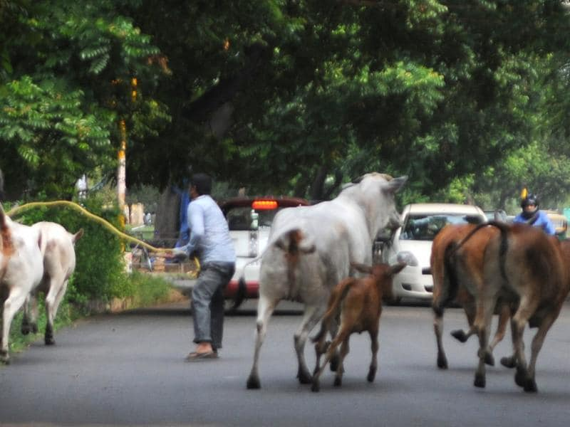 The MC has caught around 600 stray cattle in the town this year (Anil Dayal/HT Photo)