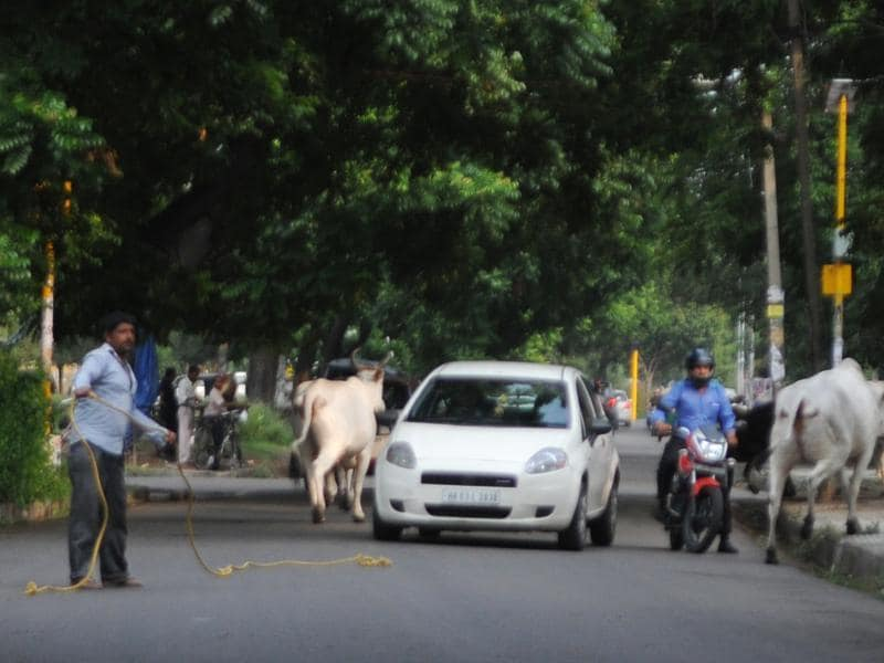 Stray cows cause inconvenience to the commuters on road in SAS Nagar on Friday. (Anil Dayal/HT Photo)