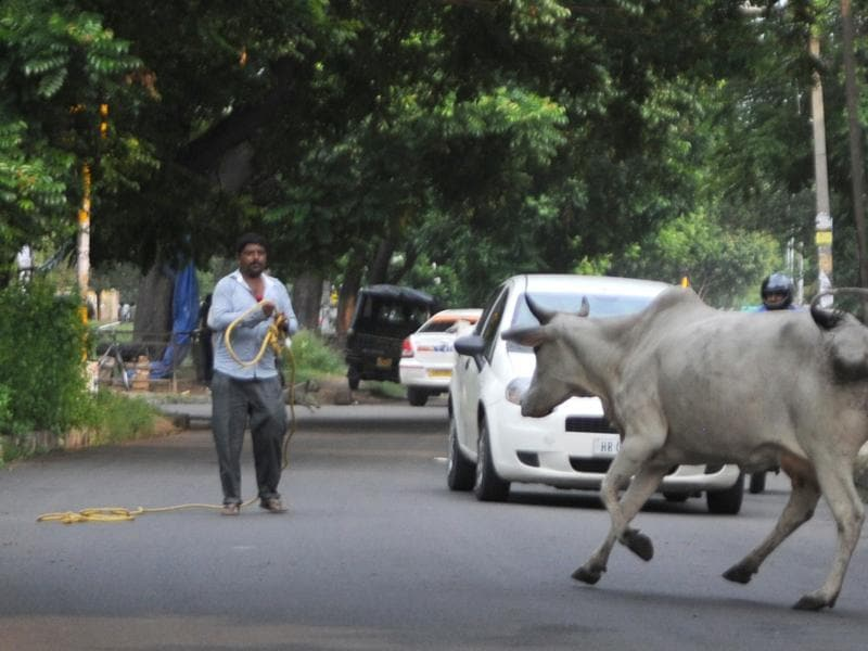 A cattle running in the middle of the road in SAS Nagar on Friday. (Anil Dayal/HT Photo)