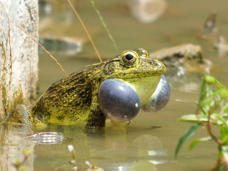 A frog croaking after heavy rainfall in Jalandhar on Saturday. (Pardeep Pandit/HT Photo)