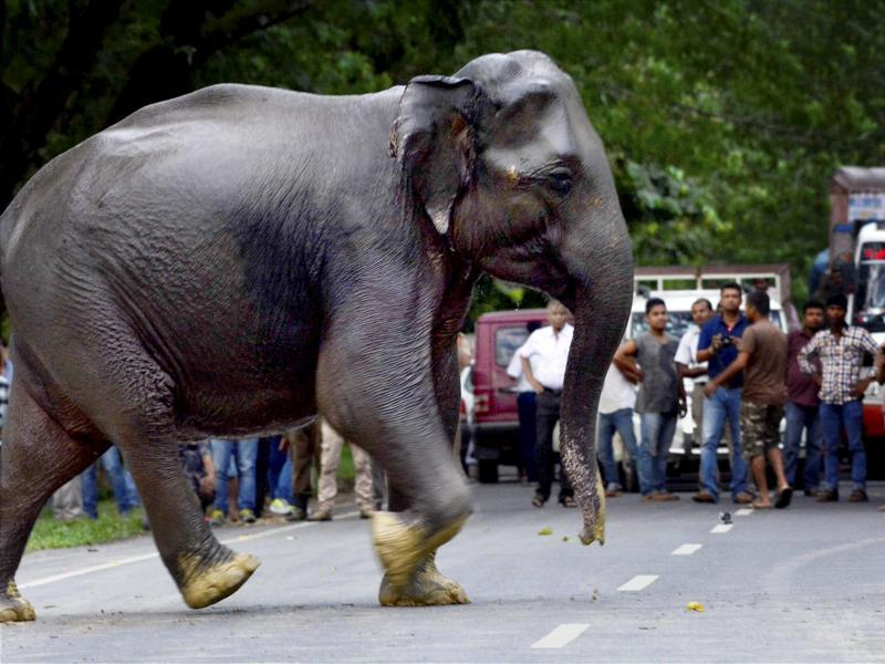 A wild elephant crosses a highway in search of dry land after floods hit Kaziranga National Park in Assam on Sunday.  (PTI Photo)