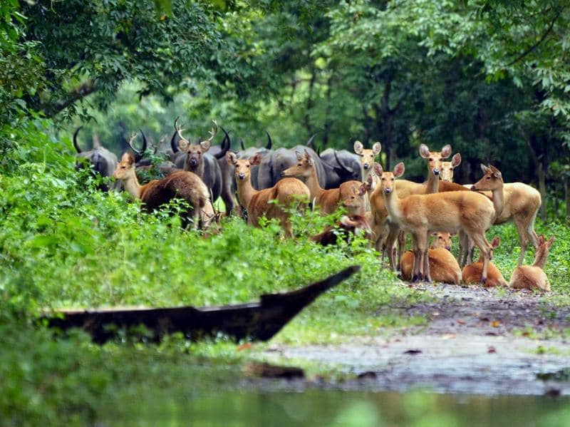 Deers and buffalo are seen on dry land after floods hit Kaziranga National Park, causing around 70 percent of the sanctuary to be under flood water on Tuesday. (PTI Photo)