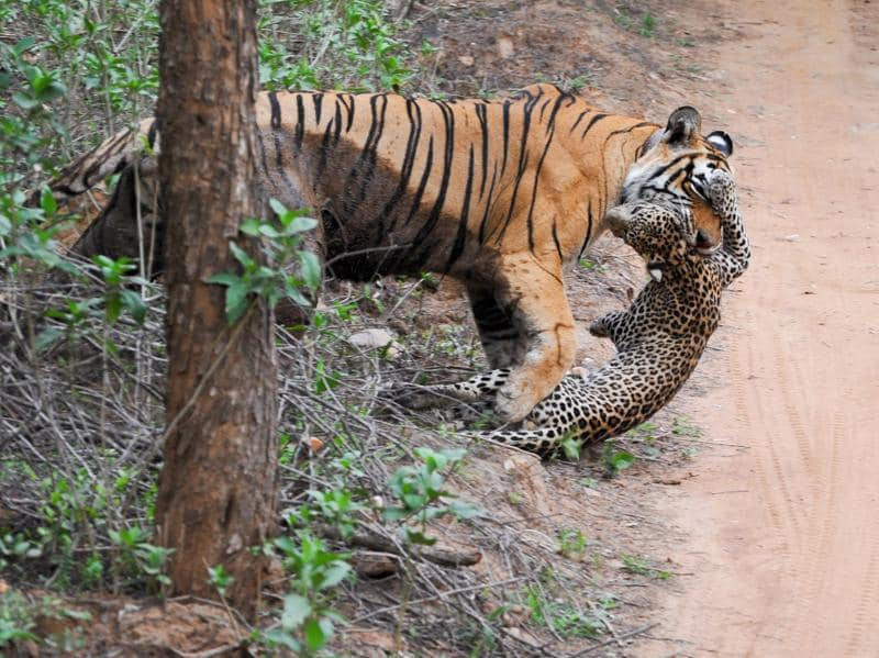 When the hunter becomes the hunted:  A Sariska Tigress, called ST 3, killed a leopard in Alwar on June 14 this year.  In 1972, India began Project Tiger after their population fell below 300 across nine tiger reserves (ABHIMANYU SINGH RAJVI/HT Photo)