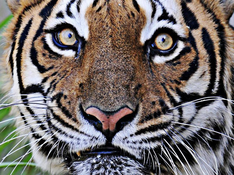 "The eye of the tiger: The portrait of a Royal Bengal Tiger at Chattbir Zoo in Mohali. India has pledged to double its tiger population by 2022 through ""conservation and care"".  (RAVI KUMAR/HT PHOTO)"