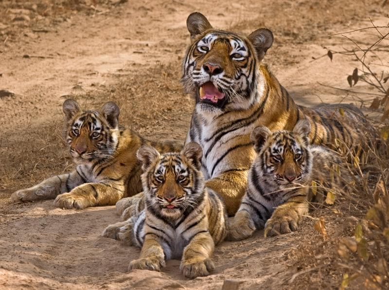 Krishna or T-19 (middle) was one of the three sisters born in 2006 to Ranthambhore's best known tigress called Machali. She was last of the four litters Machali had. The three sisters were numbered T 17, T 18 and T 19. From early on T 17 or Satara was the dominant cub.  (Aditya Dicky Singh)